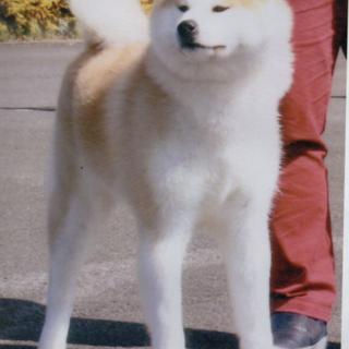 秋田犬の女の子です