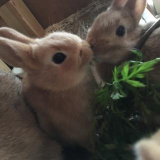 ミニウサギの赤ちゃん里親募集中