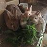 ミニウサギの赤ちゃん里親募集中 サムネイル3
