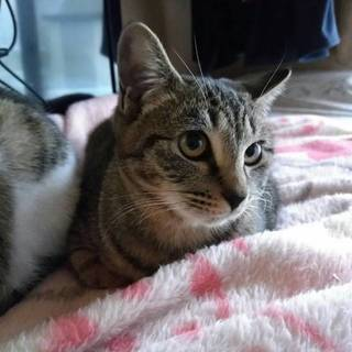 8ヶ月くらいのメス猫、やんちゃで人見知りです!