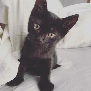 トライアル決定! 抱っこ大好き 2ヶ月の真っ黒仔猫