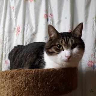 一匹飼いか猫エイズの先住猫のいるお家希望・フク