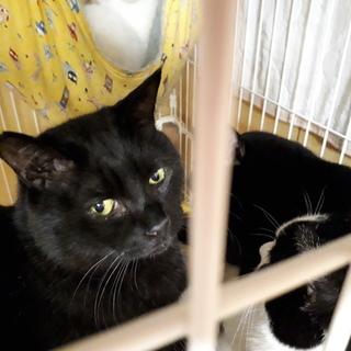 一匹飼いか猫エイズの先住猫のいるお家希望・ちびくろ