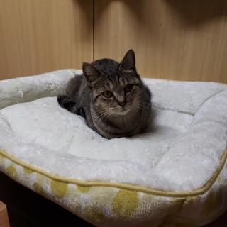 一匹飼いか猫エイズの先住猫のいるお家希望・ざらめ