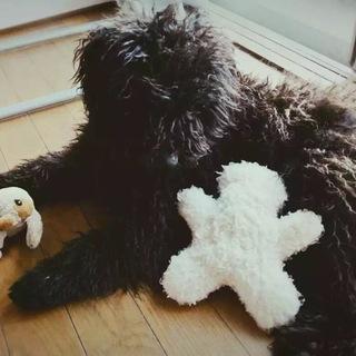 プーリー犬の飼い主を探します。