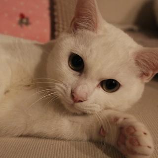 女の子の真っ白猫ちゃんです。