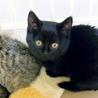 激カワな黒猫ちゃん♪兄弟ペアで引取り希望