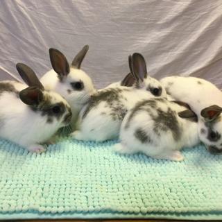 【募集再開】10/28生まれの子ウサギ【2羽】