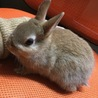 ミニウサギの赤ちゃん里親募集中 サムネイル6