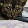 4ヶ月ブラックスモーク★スリゴロ美猫レタス♀ サムネイル2