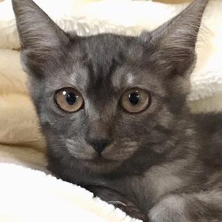 4ヶ月ブラックスモーク★スリゴロ美猫レタス♀
