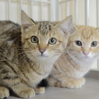 トライアル決定!キジトラの子猫の女の子