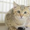 トライアル決定!キジトラの子猫の女の子 サムネイル2