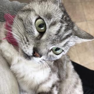 こゆき ♀ 3〜4才 賢い美猫です