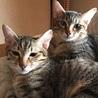 可愛いキジトラの子猫兄弟 マッチョな兄と小粒な弟
