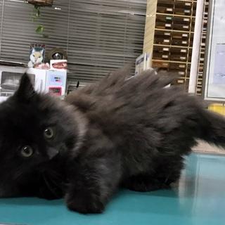 ふわふわモコモコの長毛子猫(千葉市内限定募集)