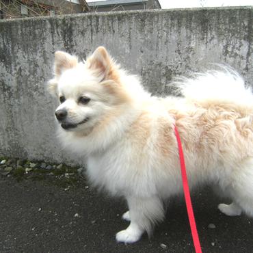 ポメラニアンのポーちゃん6才♀です。散歩とたまごとお父さんが好き。