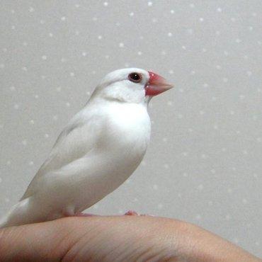 白文鳥の小梅1才(♂?)手乗り。ブランコと水浴びが好き。