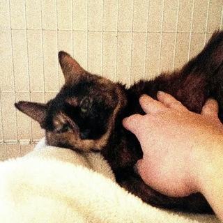膝のり抱っこ大好きのサビ猫