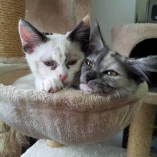 長毛種?シャムミックス&パステルサビ 子猫姉妹