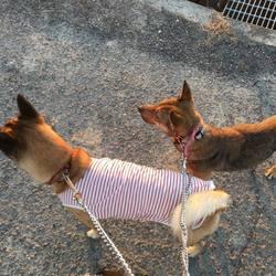 保護犬ちゃこちゃん野犬の馴らし預かり日誌