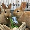 ミニウサギの赤ちゃん里親募集中 サムネイル7