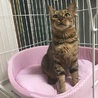 繁殖引退猫 ベンガル ガールちゃん トライアル中