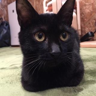 【がんも】人も猫も大好き、お目目くりくり穏やか男子