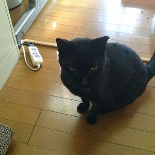 野良猫ではない飼育経験のある黒猫の里親募集