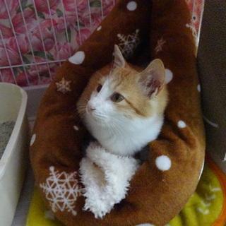 おっとり系茶白の仔猫お迎えを待っています