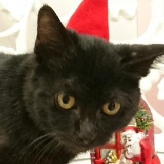 黒猫「もっち」(仮名)里親募集中!