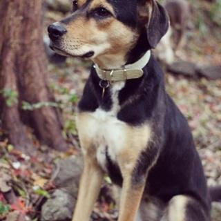 かっこいい大きなモデル犬、ゾイ。