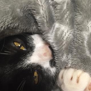 緊急!再々募集!子猫ハチワレ、保護。