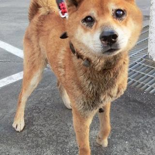 【助けて下さい‼️】迷子の柴犬風ワンコです。