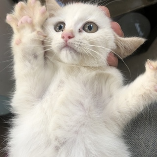神秘的な白猫 子猫 雌 生後約1ヶ月