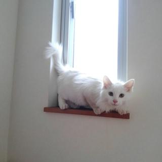 長毛白子猫3ヶ月