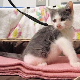 三毛猫♀   白×灰♀ 生後2か月