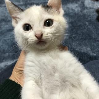 白っぽい三毛チビ◆生後約2ヶ月