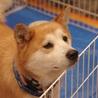 安定した可愛さのタロちゃん!大きめな柴犬系 サムネイル6