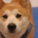 安定した可愛さのタロちゃん!大きめな柴犬系