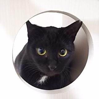 天然オモシロ甘えた黒猫女子1歳くらい♪