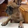 保護犬です とても人懐こいフレブルの女のコです