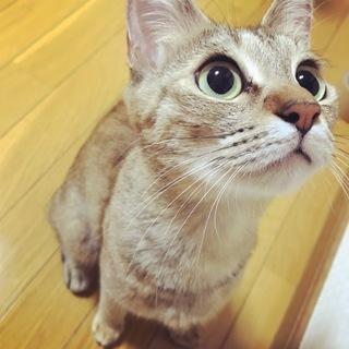 【里親募集】メスの成猫です