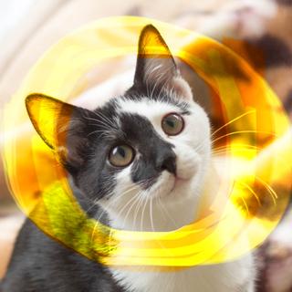 超ベタ慣れ♡ぬいぐるみ猫ゆういち小柄な4ヶ月