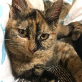美猫のサビ姉妹5ヶ月 1匹でも可