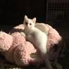フワフワの白い毛の仔猫ちゃんです‼️