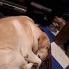 人懐っこいメスの女の子 元チャンピオン犬