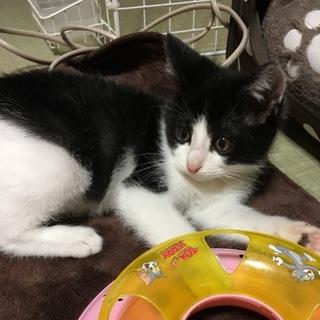 キュートな黒白のハチワレの男の子猫