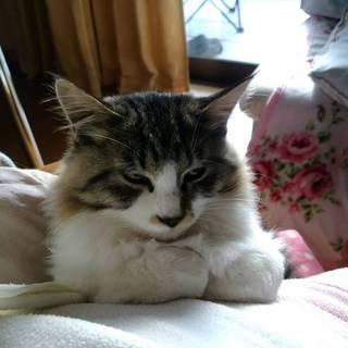 6ヶ月くらいの甘えん坊のオス猫!ツルふわ毛質!