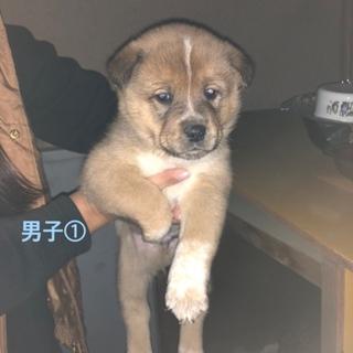 最後1ヶ月中型犬の子犬♂①